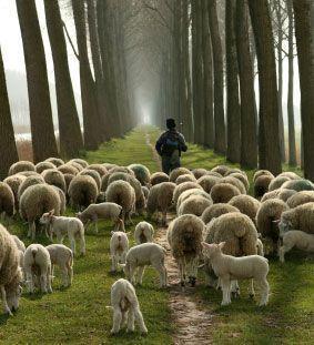 sheep-with-shepherd