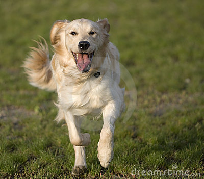 golden-retriever-running-5661670