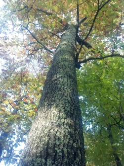 oak-tree-looking-up